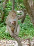 Mom monkey and baby stock photography