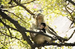 Mom monkey with her baby in her arms. At Prachuab Khiri Khan - Thailand Royalty Free Stock Images