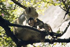 Mom monkey with its baby in her arms. At Prachuab Khiri Khan - Thailand Royalty Free Stock Image