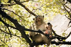 Mom monkey with its baby in her arms. At Prachuab Khiri Khan - Thailand Stock Photo