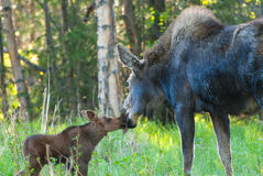 Mom Moose and Baby Calf. A mom Moose and her baby calf share a kiss Royalty Free Stock Images