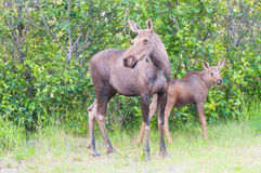 Mom Moose and Baby Calf Royalty Free Stock Image