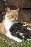 Cat with her kittens Royalty Free Stock Photo