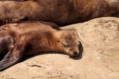 Mom and pup California sea lion Zalophus californianus. On the rocks of La Jolla Cove in Southern California Royalty Free Stock Photography