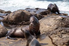 Mom and pup California sea lion Zalophus californianus. On the rocks of La Jolla Cove in Southern California Stock Photo