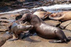 Mom and pup California sea lion Zalophus californianus. On the rocks of La Jolla Cove in Southern California Stock Photography