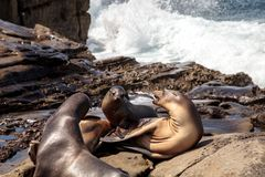 Mom and pup California sea lion Zalophus californianus. On the rocks of La Jolla Cove in Southern California Royalty Free Stock Photo