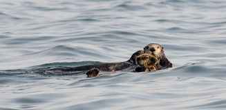 Mom and Pup look towards the camera. Sea otter mom and pup check out the camera Royalty Free Stock Images