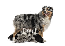 Mom purebred and her crossbreed puppies isolated on white Royalty Free Stock Photography