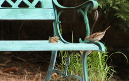Mom said get down-sparrows Stock Photo