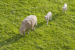 Mom sheep guiding lambs. A mom sheep leading her couple of lambs Stock Images