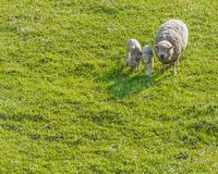 Mom sheep sheltering lambs. A mom sheep giving shelter to her two lambs Royalty Free Stock Images