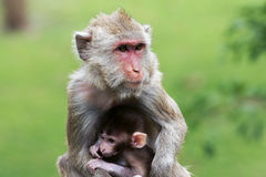 Mom and son. A mother monkey with her sun in forest Royalty Free Stock Image