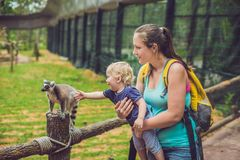 Mom and son are fed Ring-tailed lemur - Lemur catta. Beauty in n. Ature. Petting zoo concept stock image