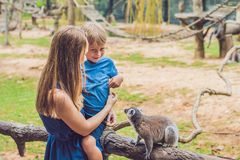 Mom and son are fed Ring-tailed lemur - Lemur catta. Beauty in n. Ature. Petting zoo concept stock photos