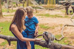 Mom and son are fed Ring-tailed lemur - Lemur catta. Beauty in nature. Petting zoo concept.  stock photo