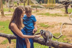 Mom and son are fed Ring-tailed lemur - Lemur catta. Beauty in nature. Petting zoo concept.  stock photography