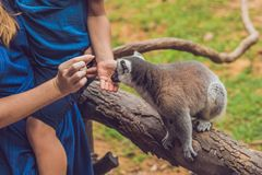 Mom and son are fed Ring-tailed lemur - Lemur catta. Beauty in nature. Petting zoo concept.  royalty free stock photo