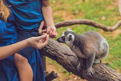 Mom and son are fed Ring-tailed lemur - Lemur catta. Beauty in nature. Petting zoo concept.  royalty free stock photos