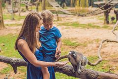 Mom and son are fed Ring-tailed lemur - Lemur catta. Beauty in nature. Petting zoo concept.  royalty free stock image