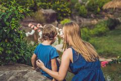 Mom and son are looking at the flock of birds of pink flamingos. On a pond stock photo