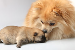 Mom spitz with blind puppy Stock Photos