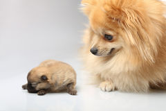 Mom spitz with blind puppy Royalty Free Stock Photo