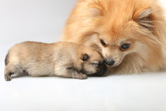 Mom spitz care about her puppy Royalty Free Stock Photos