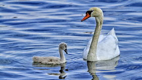Mom swan with his baby Stock Photo