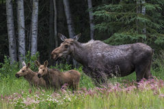 Mom and twin calf moose. Cow moose with her twin calfs standing in a field in Alaska royalty free stock photos