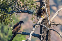 `Mom you just dropped my fish` Rare find American Bald Eagle Stock Image