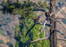 `Mom you just dropped my fish` Rare Sighting American Bald Eagle in Southern California Series Royalty Free Stock Image