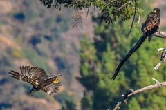 `Mom you just dropped my fish` Rare Sighting American Bald Eagle in Southern California Series Royalty Free Stock Photos