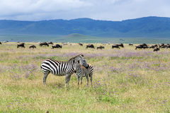 Mom zebra and her foal graze on lush meadows royalty free stock image