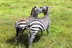 Mom zebra and her foal graze on lush meadows royalty free stock photo