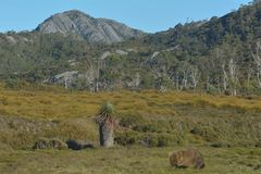 Momabt in Cradle Mountain-Lake St Clair National Park Tasmania Australia. A male womabt eating grass against landscape view of Cradle Mountain-Lake St Clair stock photo