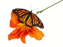 momarch лилии Стоковое Изображение RF