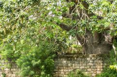 Huge Baobab tree with Vervet monkey family Royalty Free Stock Image