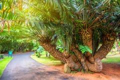 Mombasa cycad tree Stock Images