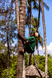 Mombasa, Kenya - 07 January: man climbs a tree to collect coconu Royalty Free Stock Images