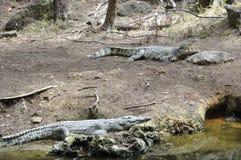 Mombasa: Krokodiler i Haller parkerar Royaltyfri Fotografi