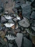 Tiger Fish & x28; sumpit& x29; stock photography