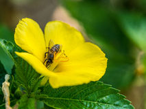Moment of the bee eating pollen inside of the flower. Moment of the bee eating pollen inside of the yellow flower Royalty Free Stock Photo