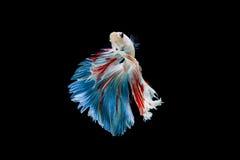 Moment betta ryba, siamese bój ryba Zdjęcie Royalty Free