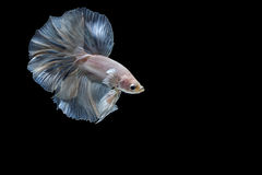 Moment betta ryba, siamese bój ryba Obraz Royalty Free
