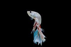 Moment des poissons de betta, poissons de combat siamois Image libre de droits