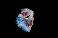 Moment des poissons de betta, poissons de combat siamois Images libres de droits