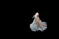 Moment des poissons de betta, poissons de combat siamois Photos stock