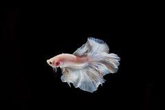 Moment des poissons de betta, poissons de combat siamois Images stock