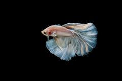 Moment des poissons de betta, poissons de combat siamois Photographie stock libre de droits